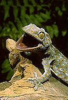GK02-013z  Tokay Gecko - threatening intruder - Gekko gecko