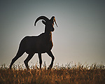 Bighorn Ram at Sunrise. Image taken with a Nikon D700 camera and 80-400 mm VR lens (ISO 200, 400 mm, f/11, 1/1000 sec).