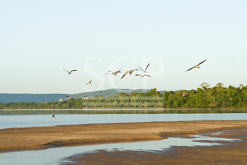 Pará State, Brazil. Xingu River; early morning island beach with large birds.