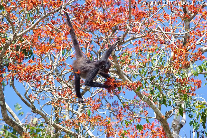 Central American Spider Monkey, Tikal, Peten, Guatemala