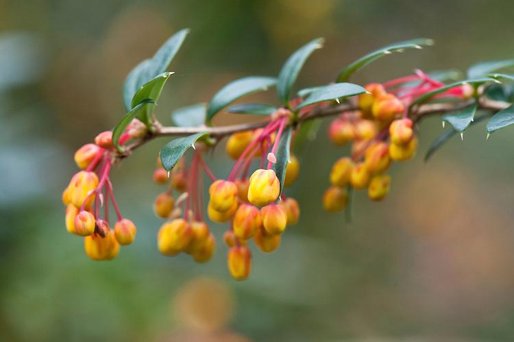 Barberry (Berberis x lologensis (B. darwinii x B. linearifolia)), late March. From southern South America.