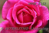 Gisela, FLOWERS, BLUMEN, FLORES, photos+++++,DTGK2162,#f# ,roses