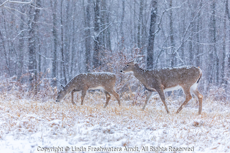 White-tailed doe and her fawn walking in a Wisconisn snowstorm.