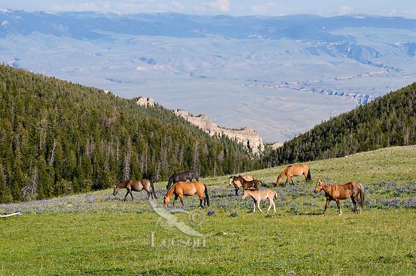 Mustangs or Wild Horse herd (Equus ferus caballus).  Western U.S., summer.