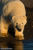 Polar bear on the shore of the Beaufort Sea.  Alaska Alaska Polar Bear Photography Prints