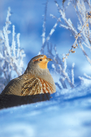 """Hungarian Partridge or """"Hun"""" in the snow on a frigid winter morning in Montana"""