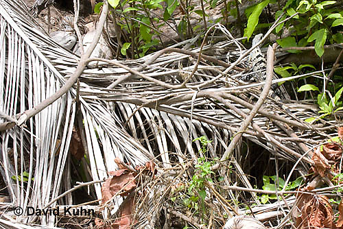 0626-1116  Camouflaged Black Spiny-tailed Iguana (Black Iguana, Black Ctenosaur), On Half-moon Caye in Belize, Ctenosaura similis  © David Kuhn/Dwight Kuhn Photography