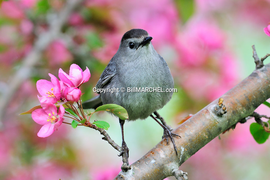 00135-005.03 Gray Catbird is perched in red splendor crab apple tree in bloom.  Song, mate, breed, territory, landscape, fruit, backyard.