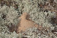 Kotwespe, Mellinus arvensis, am Eingang zu ihrem Bau, Nesthaufen, Nest aus Sand zwischen Rentierflechten, Grabwespe, field digger wasp