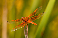A bright orange dragonfly takes a break from flitting around a neighborhood park and perches atop a blade of tule grass.