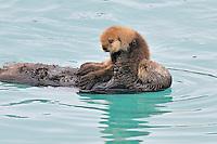 Alaskan or Northern Sea Otter (Enhydra lutris) mom with young pup.  Alaska.
