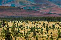 Tundra and Taiga, spruce trees, Denali National Park, Interior, Alaska.