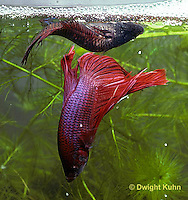 BY05-122z  Siamese Fighting Fish - male catching eggs released by female - Betta splendens