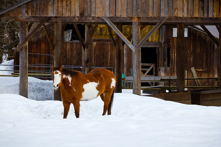 A paint horse is standing in the snow in Winter in front of a stable and barn with bare trees in the background