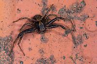 Anspruchslose Krabbenspinne, Krabbenspinne, Männchen, Xysticus kochi, crab spider, male, Krabbenspinnen, Thomisidae, crab spiders