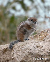 1117-0802  White-tailed Antelope Ground Squirrel, Ammospermophilus leucurus © David Kuhn/Dwight Kuhn Photography