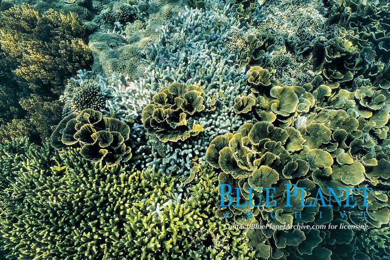 Coral reef, Pavona porites, Raja Ampat, Papua, Indonesia, Pacific Ocean