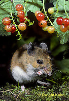 MU50-058z   White-Footed Mouse - eating berries -  Peromyscus leucopus