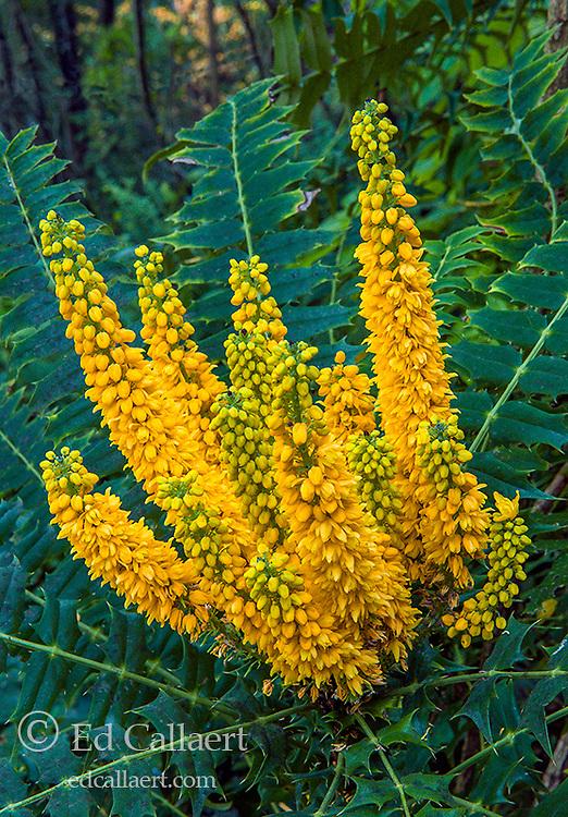 Oregon Grape, Mahonia aquifolium, Berberidaceae, Cypress Garden, Mill Valley, California
