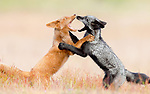 Two sibling foxes with different coloured coats tussle in a field by Phillip Chang