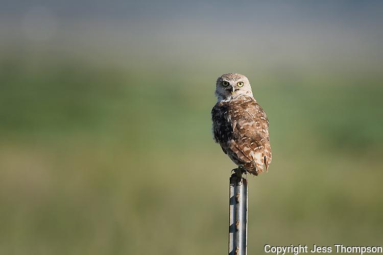 Burrowing Owl, Texas roadside south of Fort Stockton