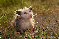 Baby Opossum, Didelphis marsupialis, smiles up in greeting from the lawn