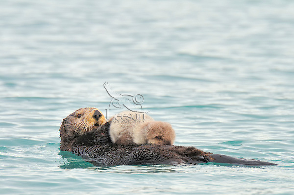 Alaskan or Northern Sea Otter (Enhydra lutris) mother with very young pup.