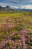 Alpine azalea on the springtime tundra in Denali National Park, Interior, Alaska.