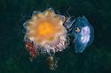 Lion's Mane Jellyfish {Cyanea capillata} predating a Common / Moon Jellyfish {Aurelia aurita}, Isle of Mull, Scotland. June.