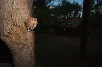 Eastern Screech Owl, emerging from nest cavity, overlooking a person gathering wood, Pine Barrens, New Jersey