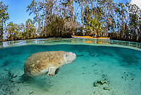 Florida manatee, Trichechus manatus latirostris, a subspecies of West Indian manatee, and kayaker, Three Sisters Springs, Crystal River National Wildlife Refuge, Kings Bay, Crystal River, Florida, USA