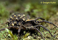 LC01-007z  Wolf Spider - with young on back - Trochosa terricola