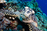 A hawksbill turtle, Eretmochelys imbricata, watches the photographer closely, Layang Layang, South China Sea atoll, Sabah Province, Borneo Island, Malaysia, Pacific Ocean
