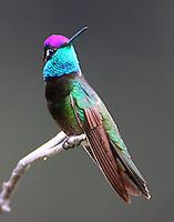 Adult male Rivoli's (magnificent) hummingbird