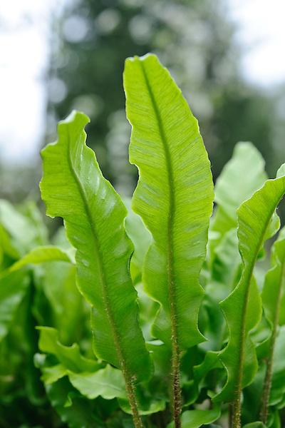 Asplenium scolopendrium 'Undulata'