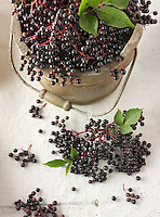 Fresh picked Sambucus berries commonly known as elder or elderberry
