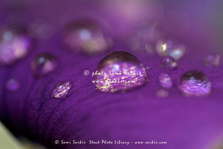 Drops on a purple petal of a viola pansy flower after rain shower.