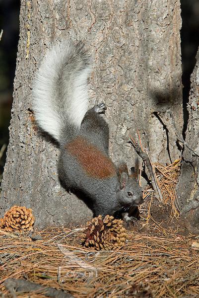 Kaibab Squirrel (Sciurus aberti Kaibabensis).   North Rim Grand Canyon National Park