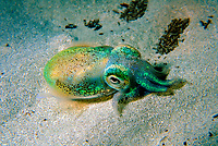 Southern Dumpling Squid, Euprymna tasmanica, This squid has a luminescent light organ which is fuelled by light emiting bacteria, Moonta Bay, South Australia, Australia, Southern Ocean