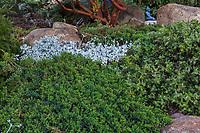 Juniperus communis var saxatilis Common juniper; low growing evergreen shrub as groundcover native plant garden; Vincent Garden