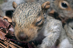 2 Week old Eastern gray squirrel pup in nest.  At this early age, the squirrels eyes are still closed, close-up.  An older sibling is seen behind in the nest.