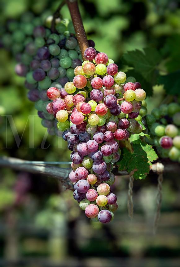 Truro Vineyards, Cape Cod, Massachusetts, USA