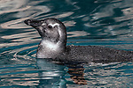 african black-footed penguin juvenile swimming