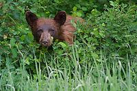 Black Bear Cub peering through the rain-soacked underbrush