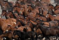 A myriad of dun colored wild horses run through the dry Nevada desert in the Jackson Mountains.