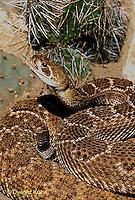 1R15-036z  Western Diamondback Rattlesnake - Crotalus atrox
