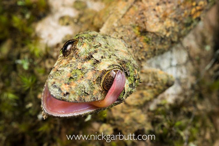 Mossy Leaf-tailed Gecko (Uroplatus sikorae), cleaning its eye with its tongue. Ranomafana National Park, south east Madagascar.