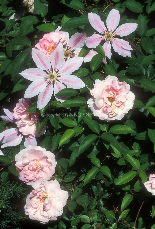 Roses and clematis Nelly Moser in pink color theme combination, climbing vine in shrub Rosa