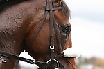 31 October 2009 Lentenor Debut at Keeneland.Lentenor heads back to the barn after finishing 3rd in his racing debut.
