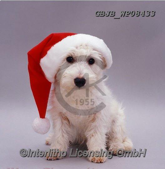 Kim, CHRISTMAS ANIMALS, WEIHNACHTEN TIERE, NAVIDAD ANIMALES, fondless, photos+++++,GBJBWP08433,#xa#